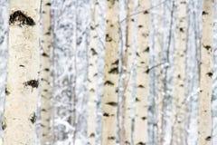 Крупный план пущи дерева березы в зиме Стоковые Изображения RF