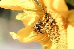 Крупный план пчелы меда на солнцецвете Стоковые Изображения