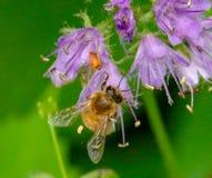Крупный план пчелы меда на цветке лаванды Стоковое Изображение