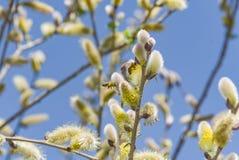 Крупный план пчелы работая на желтом цветке Стоковые Фотографии RF