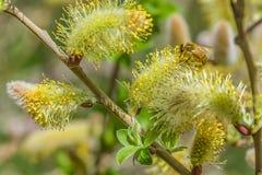 Крупный план пчелы работая на желтом цветке Стоковое Изображение