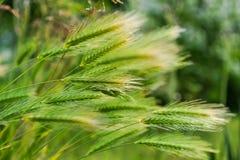 Крупный план пшеницы сплетя в ветре стоковая фотография rf