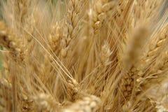 Крупный план пшеницы стоковые изображения rf