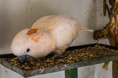 Крупный план розового какаду есть семена, животный питаться, тропичес стоковое изображение