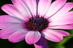 Крупный план розового цветка маргаритки Стоковое фото RF