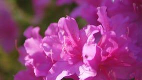 Крупный план розовых цветков дикого розмаринового масла стоковое изображение rf