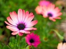 Крупный план розовых цветков с зеленым цветом выходит в сад бабочки в Санта-Барбара Калифорнии Объектив макроса с bokeh для знаме стоковое фото