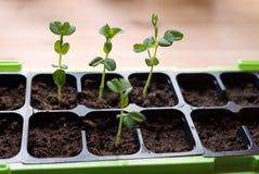 Крупный план самодостаточных доморощенных молодых органических горохов сахара растя от свежей почвы Стоковая Фотография