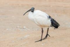 Крупный план священного ibis Стоковое Изображение RF