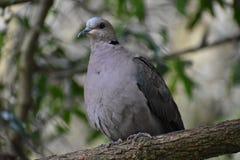 Крупный план серого Barbary нырнул сидящ на ветви дерева в парке в Южной Африке Стоковое Фото