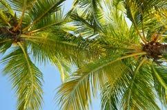 Крупный план снял кокосовой пальмы над предпосылкой голубого неба Стоковое Фото