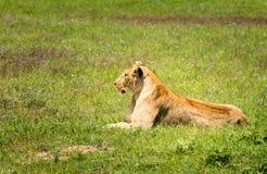 Крупный план снял львицы отдыхая в поле Стоковые Изображения
