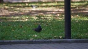 Крупный план снял общего великобританского голубя идя на траву, царапающ свою голову с ногой акции видеоматериалы