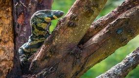 Крупный план снял ящерицы goanna отдыхая в дереве, сигналит внутри сток-видео