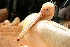 Крупный план снятый белого пеликана принимает остатки стоковые изображения