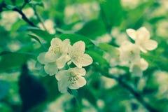 Крупный план снятый белых цветков яблони Стоковое фото RF