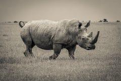 Крупный план снятый южного белого носорога Стоковые Фотографии RF