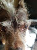Крупный план собаки Брайна Стоковая Фотография RF