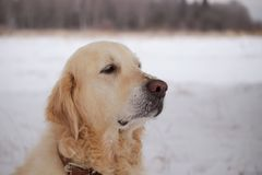 Крупный план собаки портрета большой старый Стоковое Изображение
