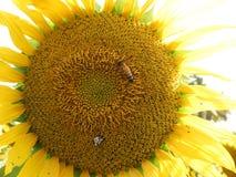 Крупный план солнцецвета с пчелой меда Стоковая Фотография