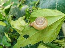 Крупный план съестной улитки с раковиной есть зеленые лист стоковое фото
