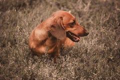 Крупный план таксы собаки фото на природе Стоковые Изображения