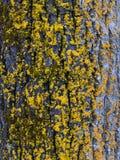 Крупный план текстуры коры дерева с мхом Желтый мох на дереве Стоковая Фотография RF