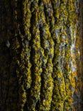 Крупный план текстуры коры дерева с мхом Желтый мох на дереве Стоковое Изображение RF