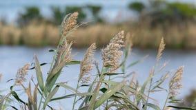 Крупный план тростников пошатывая прудом на ветреный день осени, остр стоковая фотография