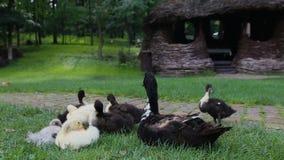 Крупный план утят будет матерью утки кряквы на зеленой траве рядом с тропой булыжника в парке съемка steadicam сток-видео