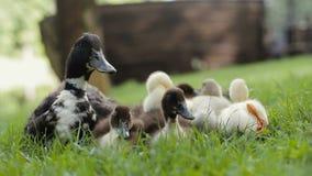 Крупный план утят группы и кряква матери Duck на зеленой траве в парке видеоматериал