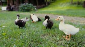 Крупный план утят и кряква матери Duck на зеленой траве рядом с тропой булыжника в парке сток-видео