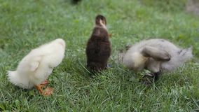 Крупный план утят очищая их перо на зеленой траве в парке сток-видео