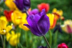 Крупный план фиолетового фиолетового цветения тюльпана стоковые фото