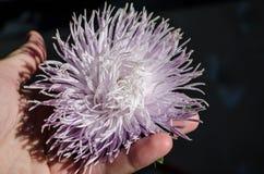 Крупный план фиолетовых хризантем Multilobe зацветая в ладони стоковое изображение