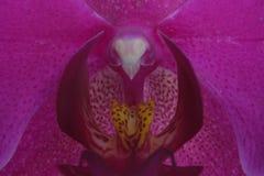 Крупный план фуксии, розовой орхидеи Стоковые Фотографии RF