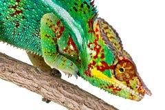 крупный план хамелеона цветастый Стоковые Фотографии RF
