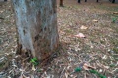 Крупный план хобота сосны на земле высушенной травы в лесе сосны стоковое изображение rf