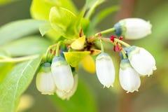 Крупный план цветений куста голубики, белый рост myrtillus Vaccinium стоковые изображения rf