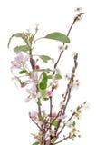 крупный план цветений яблока Стоковая Фотография