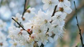 Крупный план цветения отбрасывая в ветре акции видеоматериалы
