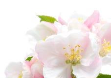 крупный план цветения яблока стоковое изображение