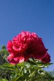 крупный план цветет peon Стоковое Изображение RF