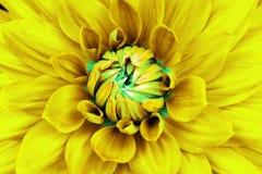 Крупный план цветка георгина желтый cyan Смогите быть использовано в дизайне места и в печатании Также хороший для дизайнеров стоковая фотография