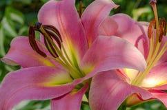 Крупный план цветка лилии Стоковые Изображения