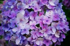 Крупный план цветка Hortensia, backgr цветка macrophylla гортензии стоковые изображения rf