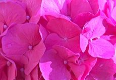 Крупный план цветков красоты розовый Стоковые Фотографии RF
