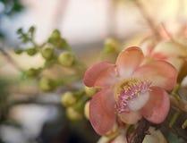 Крупный план цветков пушечного ядра стоковое фото rf