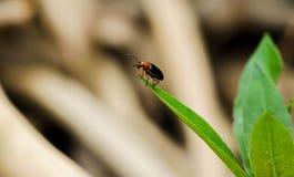 Крупный план черного жука Cucurbit на зеленых лист Стоковые Изображения RF