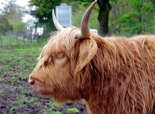 Крупный план шотландского горца Bull в выгоне стоковое изображение rf